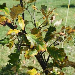 Quercus acutissima (Sawtooth Oak), inflorescence