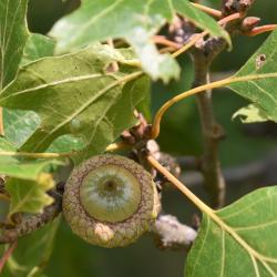 Quercus bicolor (swamp white oak), male flowers detail