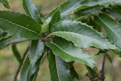 Quercus acutissima (Sawtooth Oak), leaf, upper surface