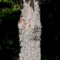 Quercus alba (White Oak), fruit, immature