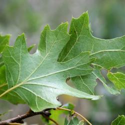 Quercus bicolor (swamp white oak), acorn and leaves