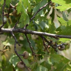 Quercus rubra var. borealis (Northern Red Oak), leaf, fall