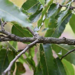 Quercus alba (White Oak), acorn cap