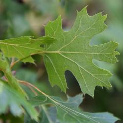 Quercus bicolor (swamp white oak), bark detail with plant label