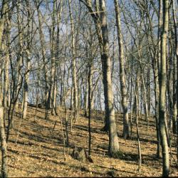 Quercus alba (White Oak), leaf, new