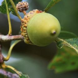 Quercus alba (White Oak), leaf, spring