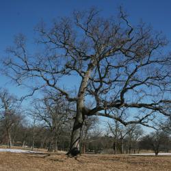 Quercus alba (White Oak), leaf, gall