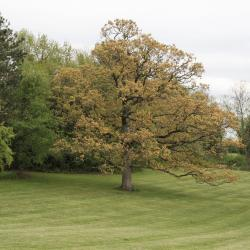 Quercus alba (White Oak), habit, young
