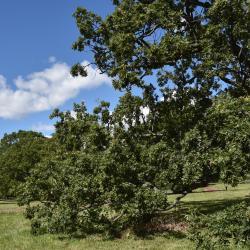 Quercus aliena (Oriental White Oak), leaf, spring