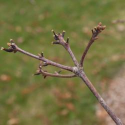 Quercus alba (White Oak), fruit, mature