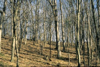 Quercus alba (White Oak), habitat