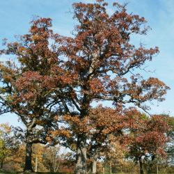 Quercus alba (White Oak), habit, summer