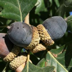 Quercus alba (White Oak), habit, spring