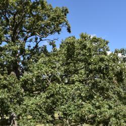 Quercus aliena (Oriental White Oak), leaf, upper surface