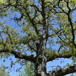 Quercus alba (White Oak), inflorescence