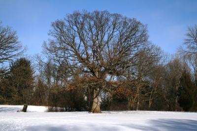 Quercus alba (White Oak), habit, winter