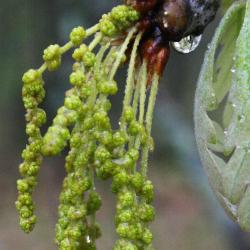 Quercus alba (White Oak), habit, fall