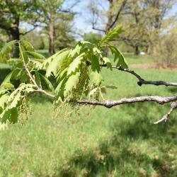 Quercus bicolor (Swamp White Oak), leaf, fall