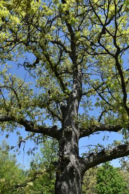 Quercus alba (White Oak), bark, trunk