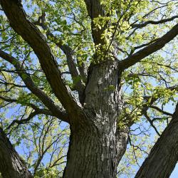 Quercus bicolor (Swamp White Oak), bark, trunk
