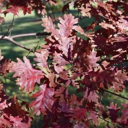 Quercus alba (White Oak), leaf, summer