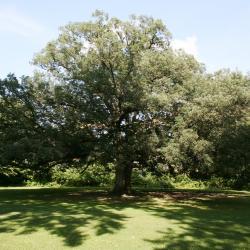 Quercus alba (White Oak), leaf, chlorotic