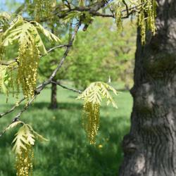 Quercus dentata 'Carl Ferris Miller' (Carl Ferris Miller Daimyo Oak), habit, spring