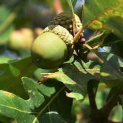 Quercus aliena var. acutiserrata (Oriental White Oak), habit, fall