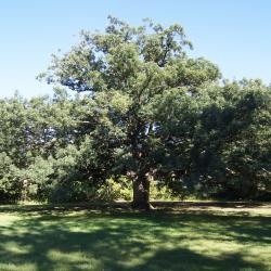 Quercus alba (White Oak), inflorescence, staminate