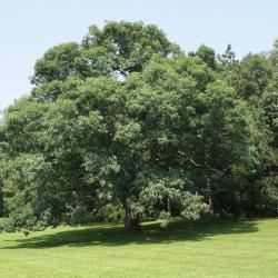 Quercus alba (White Oak), leaf, fall