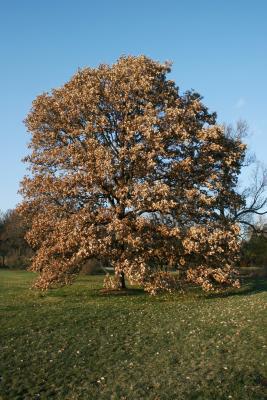Quercus bicolor (Swamp White Oak), habit, fall