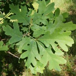Quercus alba (White Oak), trunk, burl