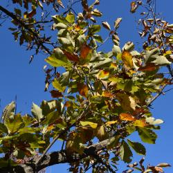 Quercus dentata 'Pinnatifida' (Cut-leaved Daimyo Oak), habit, spring