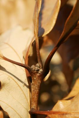 Quercus bicolor (Swamp White Oak), bud, terminal