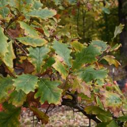 Quercus dentata 'Pinnatifida' (Cut-leaved Daimyo Oak), leaf, fall