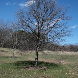 Quercus buckleyi (Buckley's Oak), flower, staminate