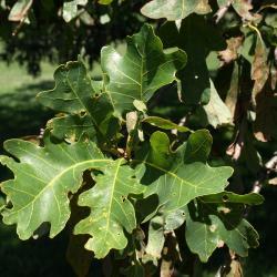 Quercus alba (White Oak), leaf, upper surface