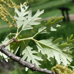 Quercus dentata 'Carl Ferris Miller' (Carl Ferris Miller Daimyo Oak), leaf, spring