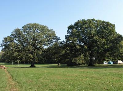 Quercus alba (White Oak), Quercus macrocarpa (Bur Oak), habit, summer