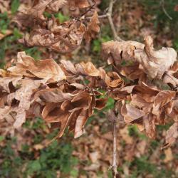 Quercus bicolor (Swamp White Oak), bud, lateral