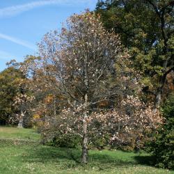 Quercus buckleyi (Buckley's Oak), bark, mature