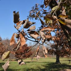 Quercus dentata 'Pinnatifida' (Cut-leaved Daimyo Oak), inflorescence