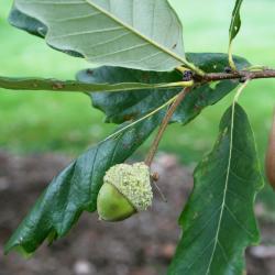 Quercus bicolor (Swamp White Oak), leaf, winter