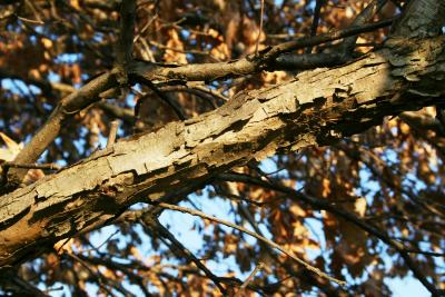 Quercus bicolor (Swamp White Oak), bark, branch