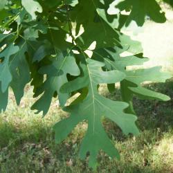 Quercus alba (White Oak), seedlings