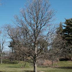 Quercus buckleyi (Buckley's Oak), bark, trunk