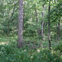 Quercus buckleyi (Buckley's Oak), habit, fall