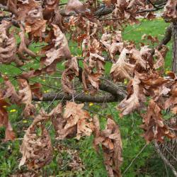 Quercus bicolor (Swamp White Oak), bark, twig