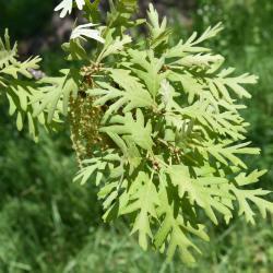 Quercus dentata 'Pinnatifida' (Cut-leaved Daimyo Oak), flower, staminate