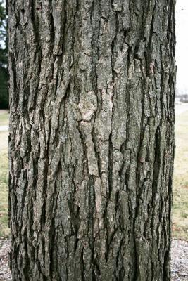 Quercus bicolor (Swamp White Oak), bark, mature